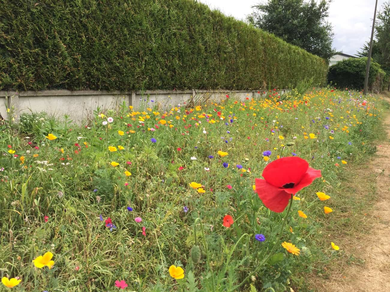 St Valéry sur Somme - wild flowers