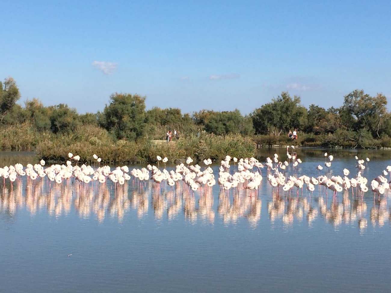 Camargue - flamingo reflections
