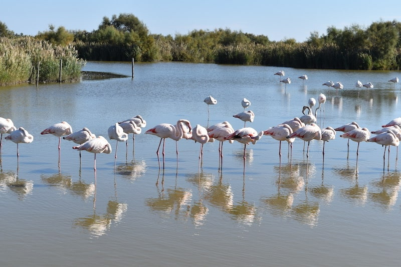Camargue - flamingoes