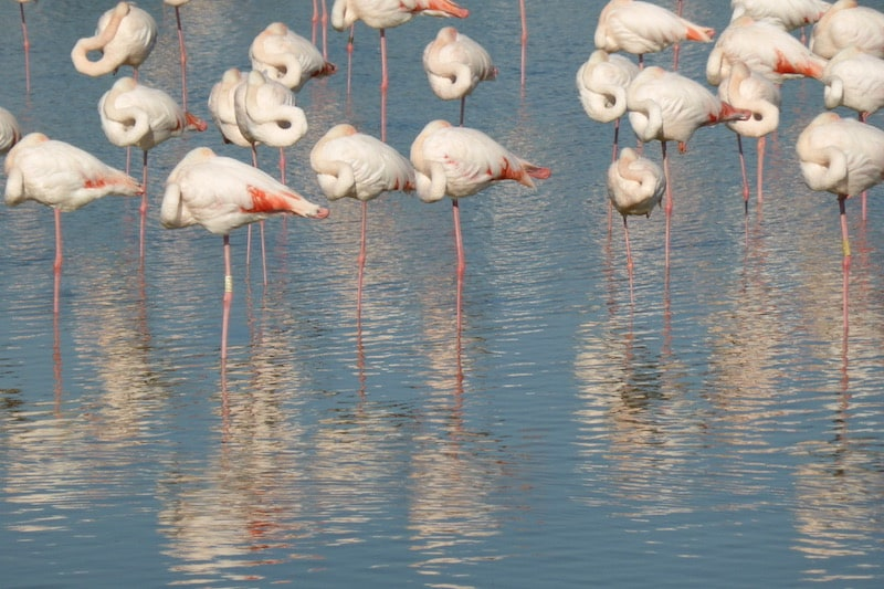 Camargue - flamingoes sleeping