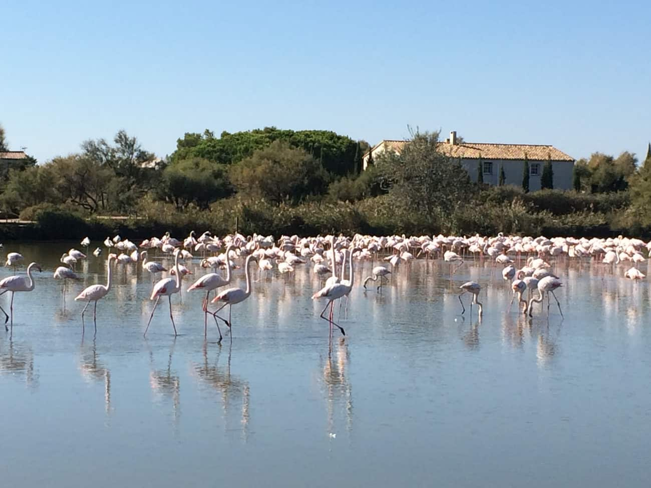 Camargue - flamingoes strutting