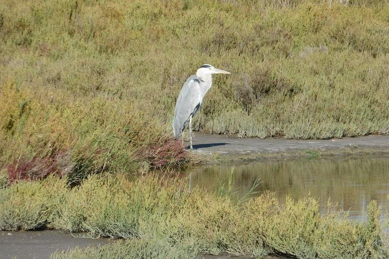 Camargue - grey heron