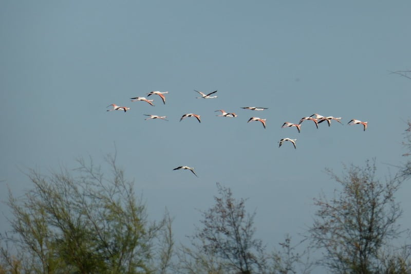 Camargue - flamingoes flying overhead