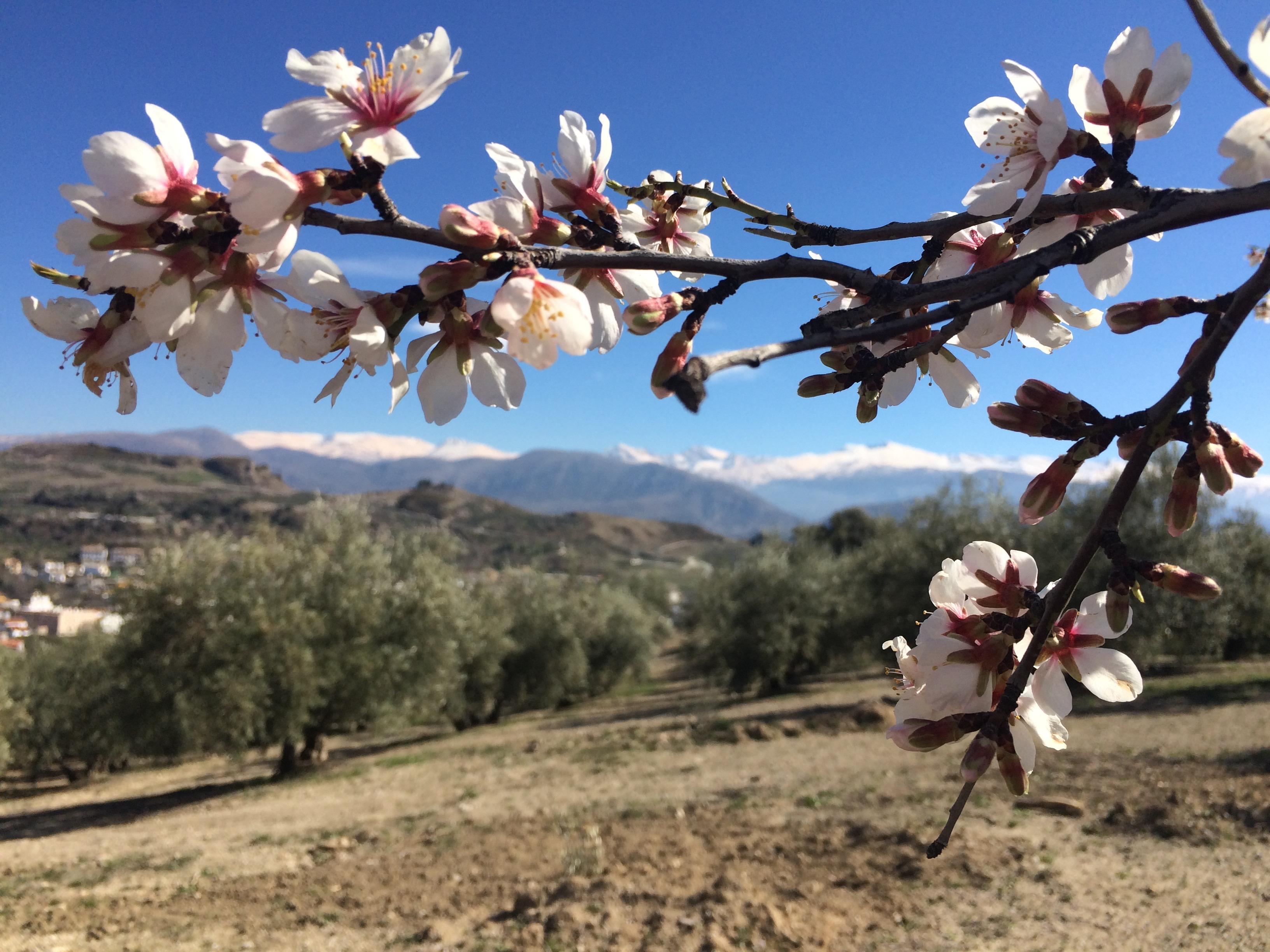 Beas de Granada Almond blossom