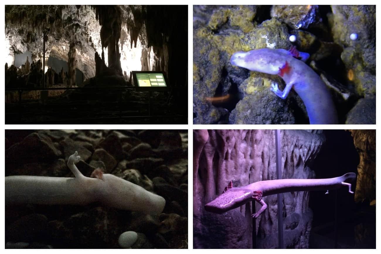 Slovenia Postojna Cave Vivarium Proteus Olm